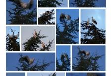 1 - cigognes arrivées depuis le 12 09 2015 Charny